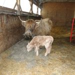 2013-calves-003