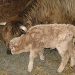 2013-calves-005