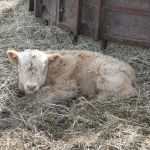 2013-calves-007
