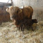 2013-calves-014