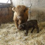 2013-calves-015