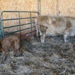 2013-calves-017