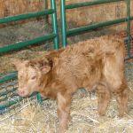 2013-calves-018