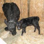 2013-calves-022