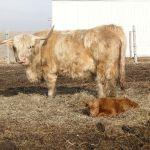 2013-calves-023