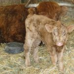 2013-calves-026