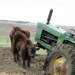 2014 calves & CA trip 018
