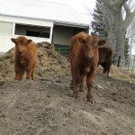 2014 calves & CA trip 019