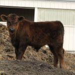 2014 calves & CA trip 020
