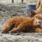 2014 calves & CA trip 021
