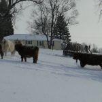 dec-2012-calves-022