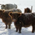 dec-2012-calves-026