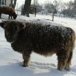 dec-2012-calves-027